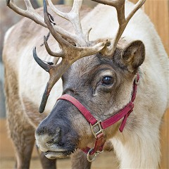 Live Reindeer, Ice-carving, Puppets, & Santa Claus at the L.A. Zoo