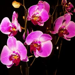 Nine Reasons Not to Miss the 72nd Annual Santa Barbara Orchid Show