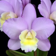 74th Annual Santa Barbara International Orchid Show